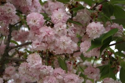 Omura Cherry