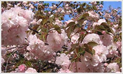 Kushima Cherry