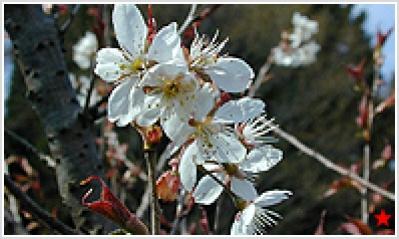 Shinami Cherry