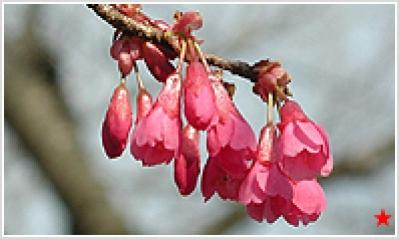 Kanhi Cherry (Taiwan Cherry)